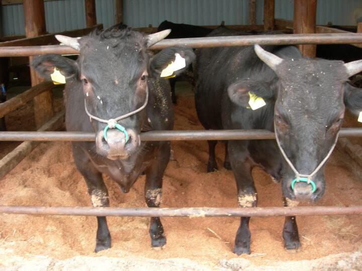 仙台牛が並んで2頭