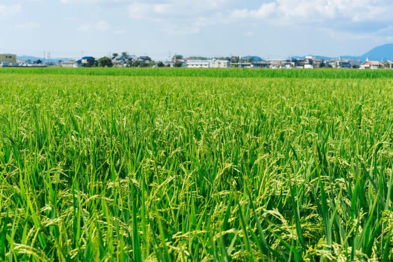 田んぼの様子 美味しい米どころ